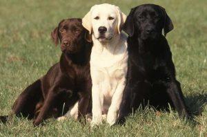 chien Labrador retriever